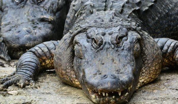 алигатор
