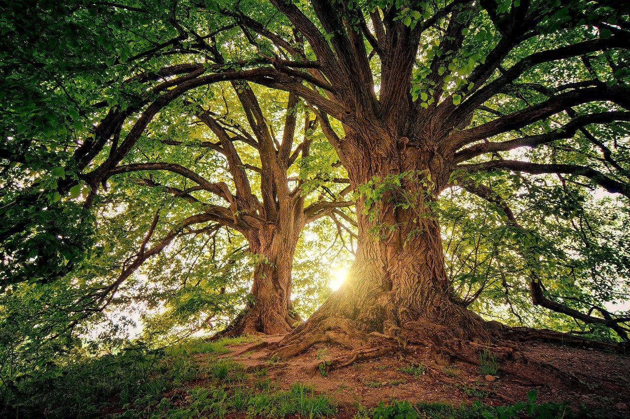 Дърво, Дървета